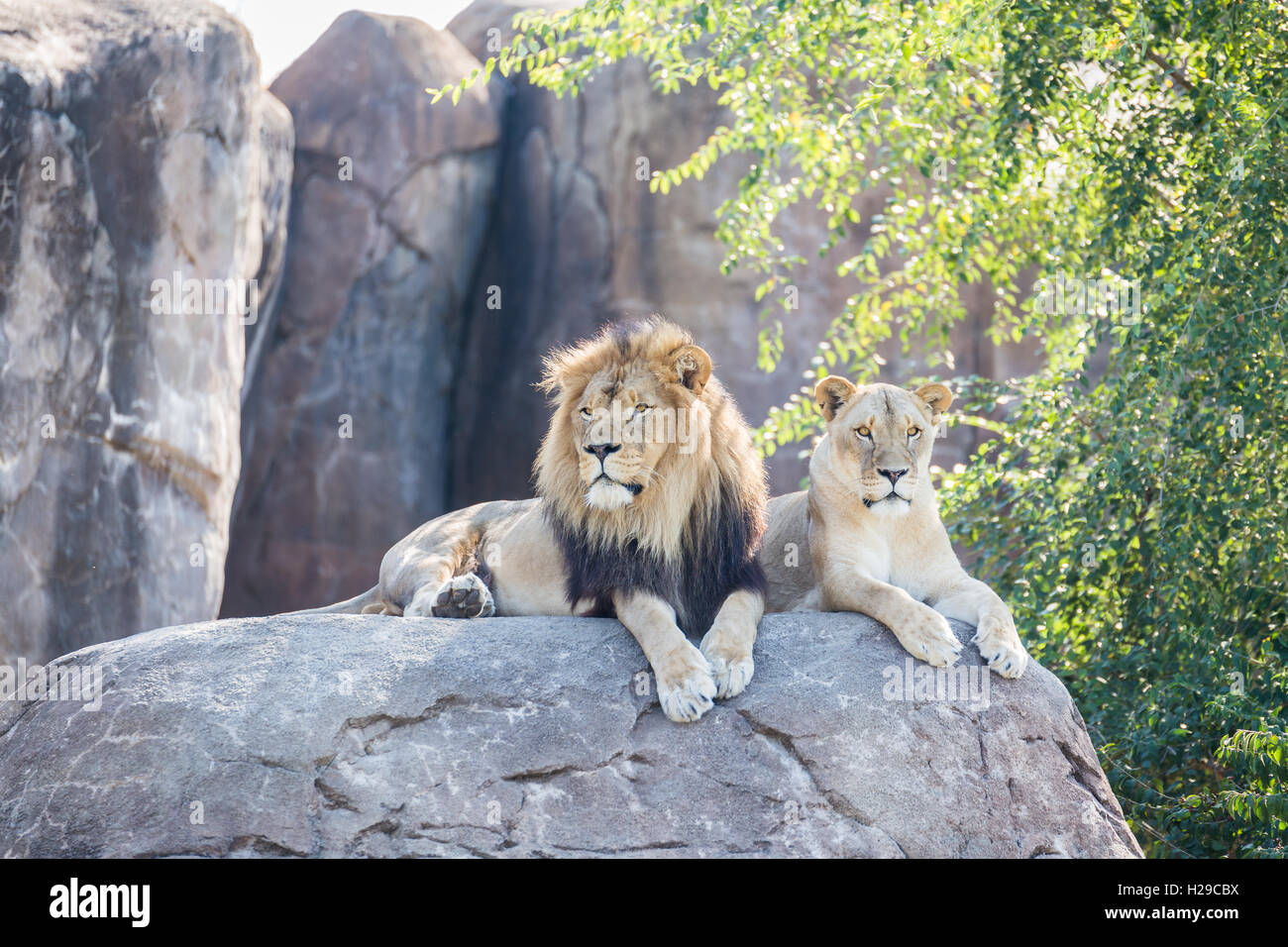 male lion on rock photos male lion on rock images alamy. Black Bedroom Furniture Sets. Home Design Ideas