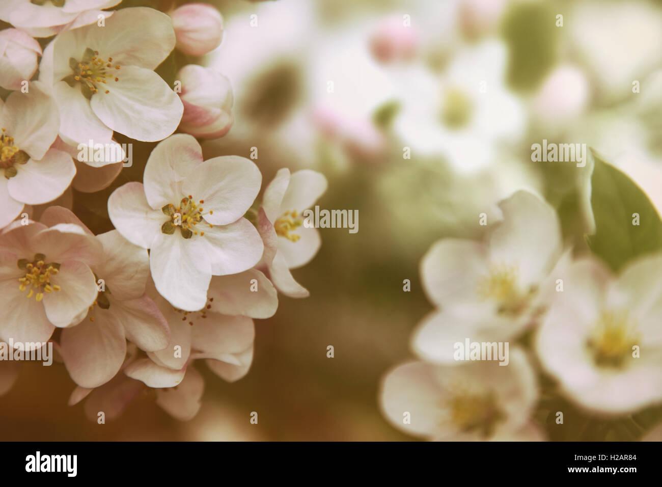 Libre d'Apple Blossom flowers vintage avec des filtres de couleur Banque D'Images