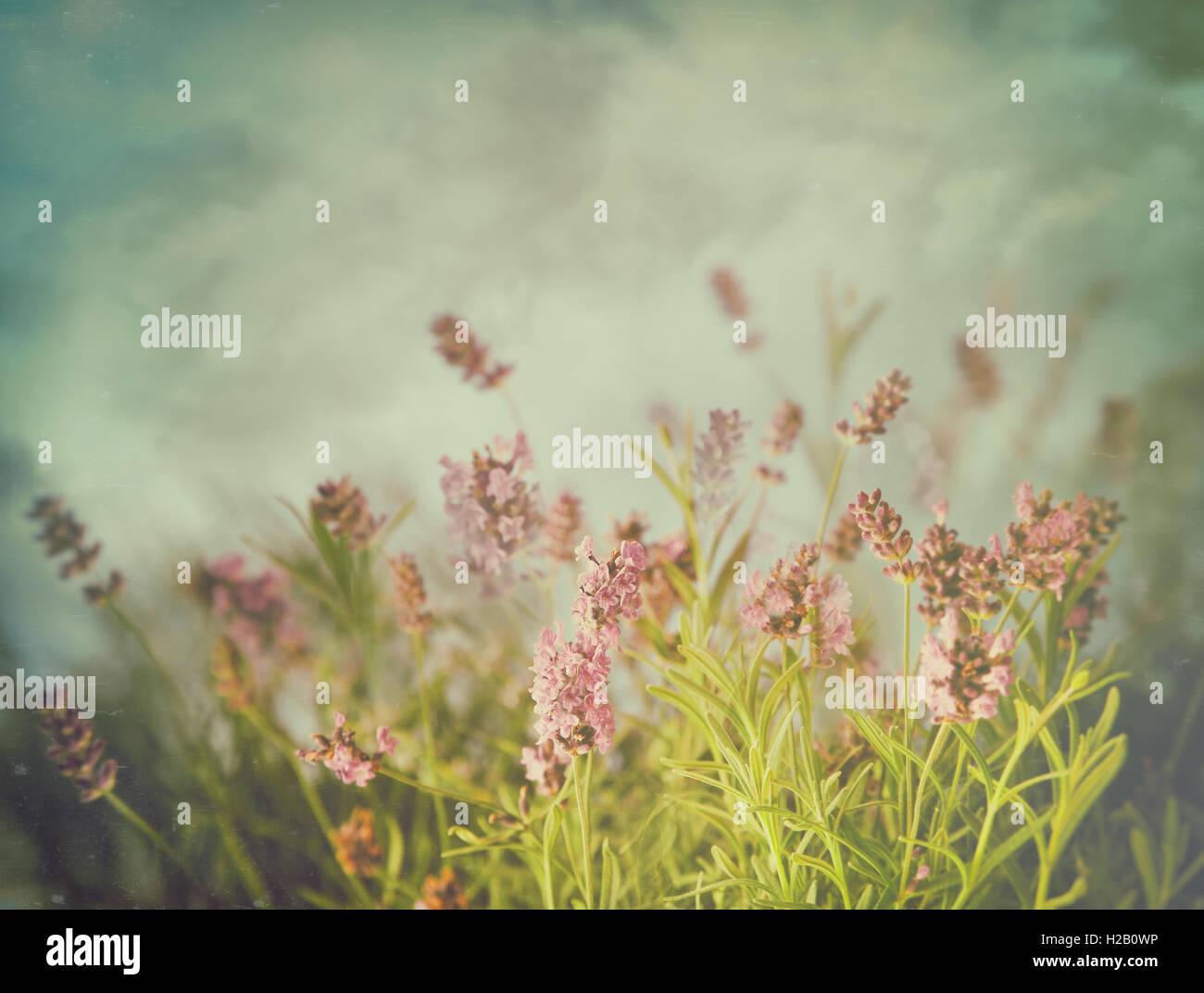 Fleurs de Lavande avec des filtres de couleur vintage Banque D'Images