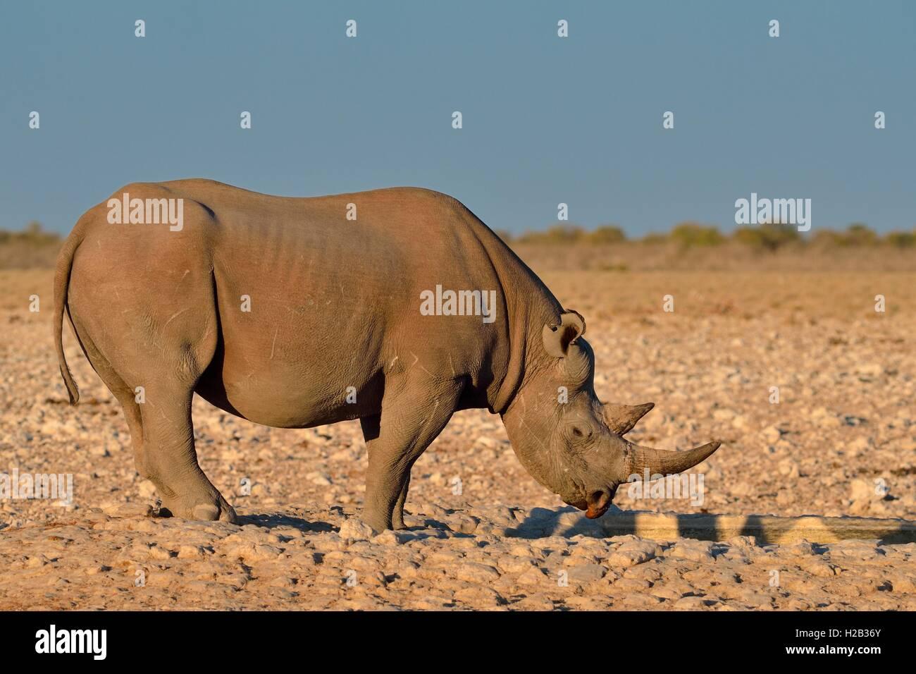 Le rhinocéros noir (Diceros bicornis), avec l'oreille droite déchirée, au point d'eau potable Photo Stock