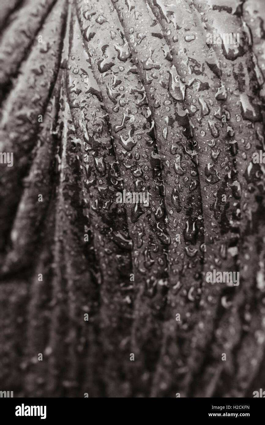 Close up de feuilles humides avec des gouttelettes d'eau en noir et blanc. Détails de la nature. Banque D'Images