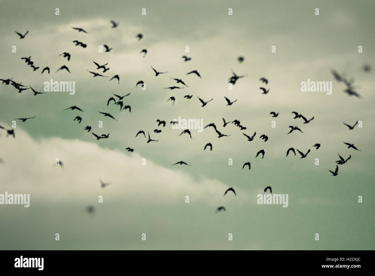 Troupeau d'oiseaux volant dans le ciel. Focus sélectif. Sombre, mystérieux et Moody. Banque D'Images