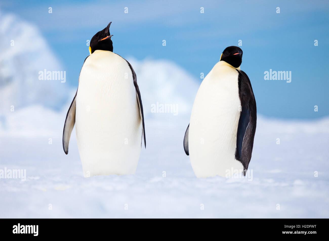 Deux manchots empereurs flâner sur une plateforme de glace, l'Antarctique côtier Photo Stock