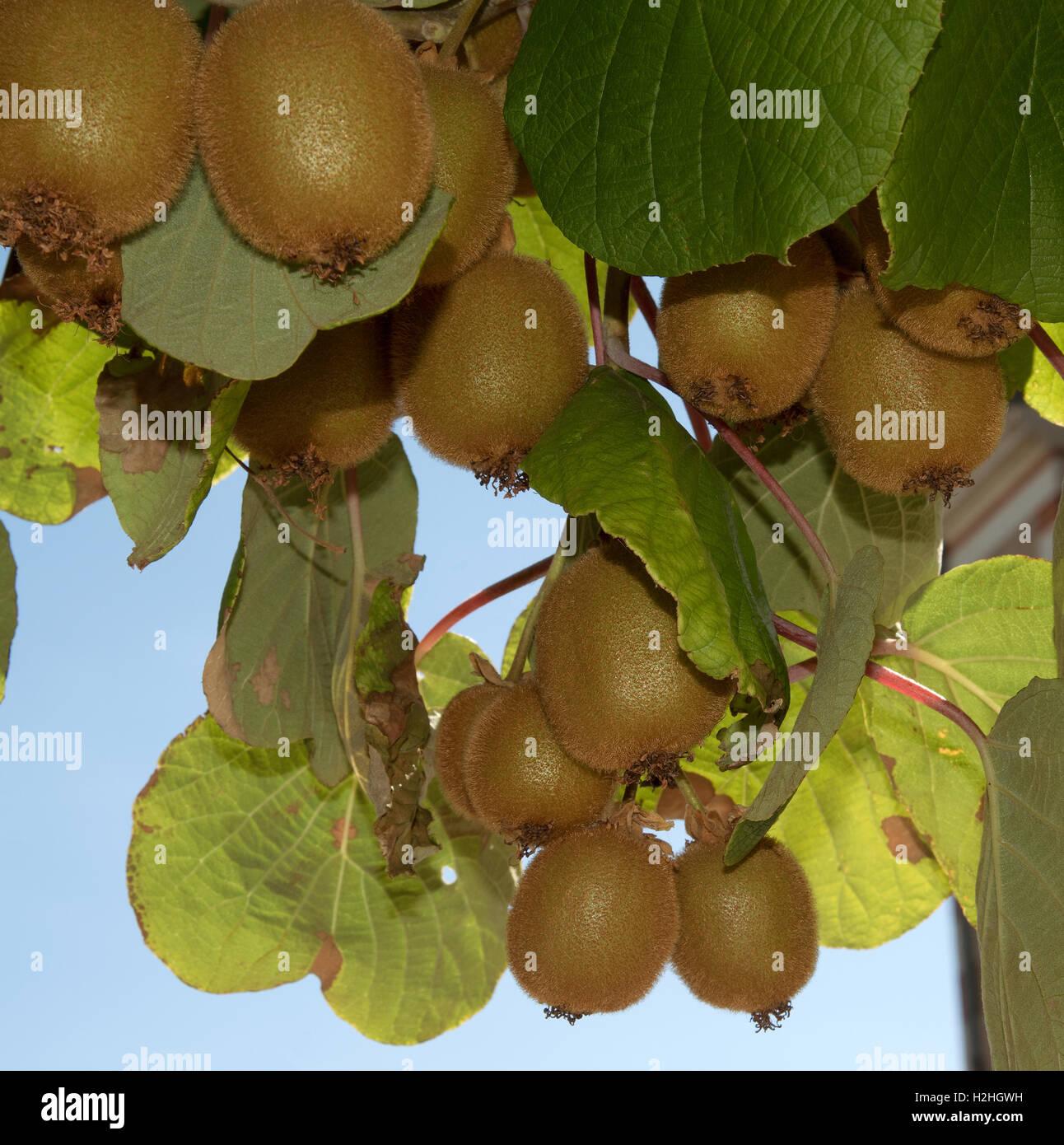 les kiwis prêts à prendre de l'arbre de kiwi banque d'images, photo