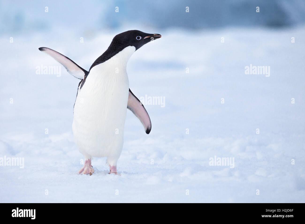Un friendly Adelie penguin bonjour vagues dans l'Antarctique Photo Stock