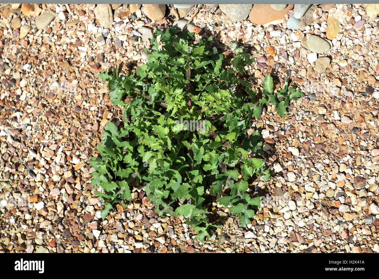 Lactuca serriola ou également connu sous le nom de laitue scariole Photo Stock