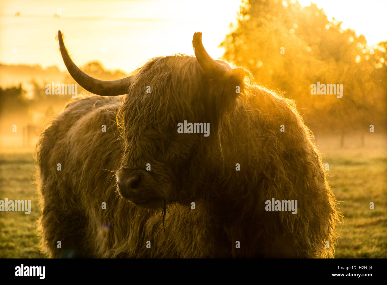 Vache highland au lever du soleil Photo Stock