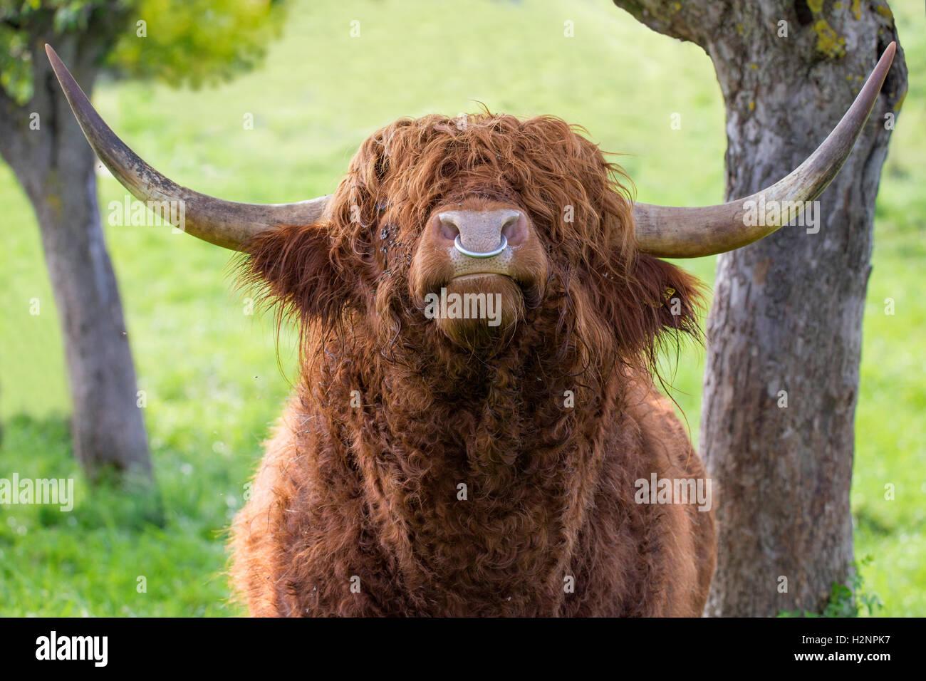 Close up of quitte bull Highland cattle avec fer anneau dans le nez. Banque D'Images