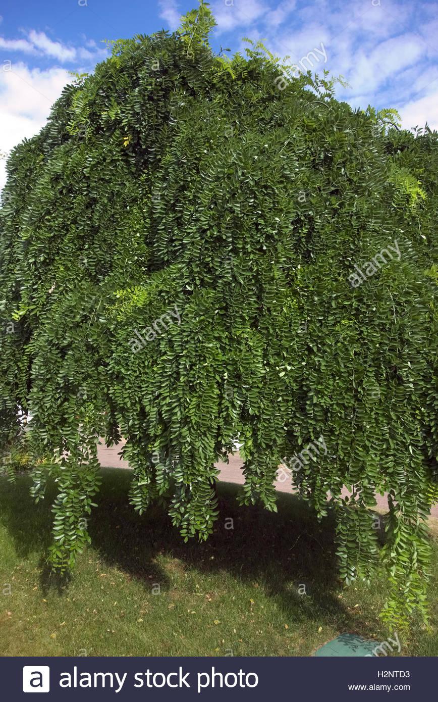 sophora japonica pendula - arbre pagode pleureur banque d'images
