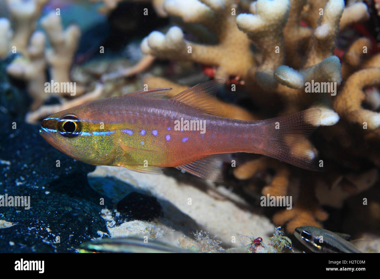 Dent courte kauderni (Ostorhinchus apogonides) dans les eaux tropicales de la mer rouge Photo Stock