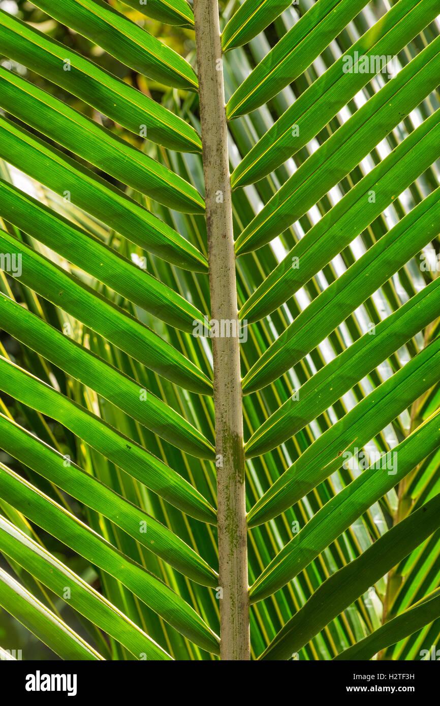 La feuille de palmier, Fond Doux Holiday Plantation, Saint Lucia Photo Stock