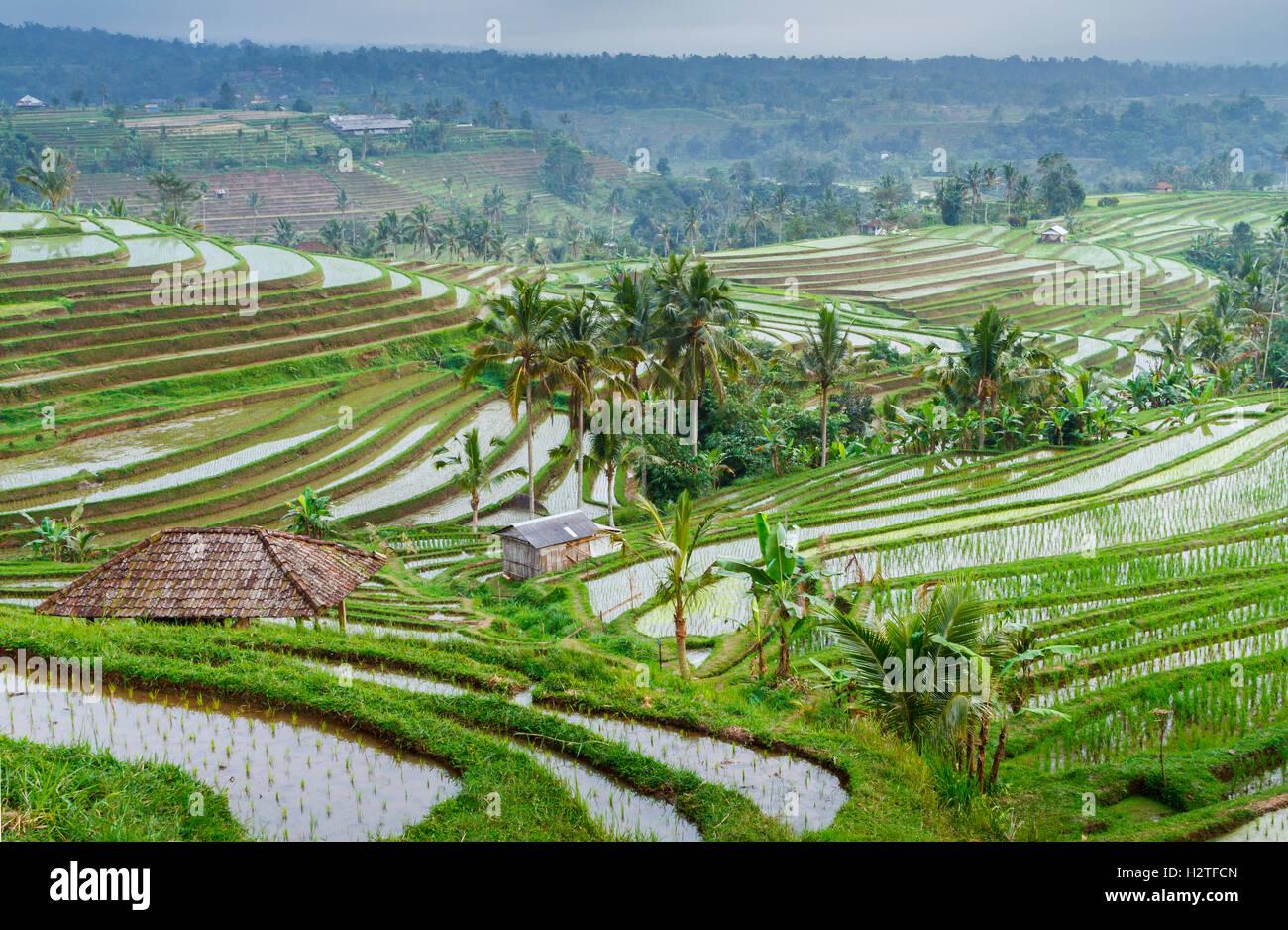 Rizières en terrasses de Jatiluwih. Bali. L'Indonésie, l'Asie. Photo Stock