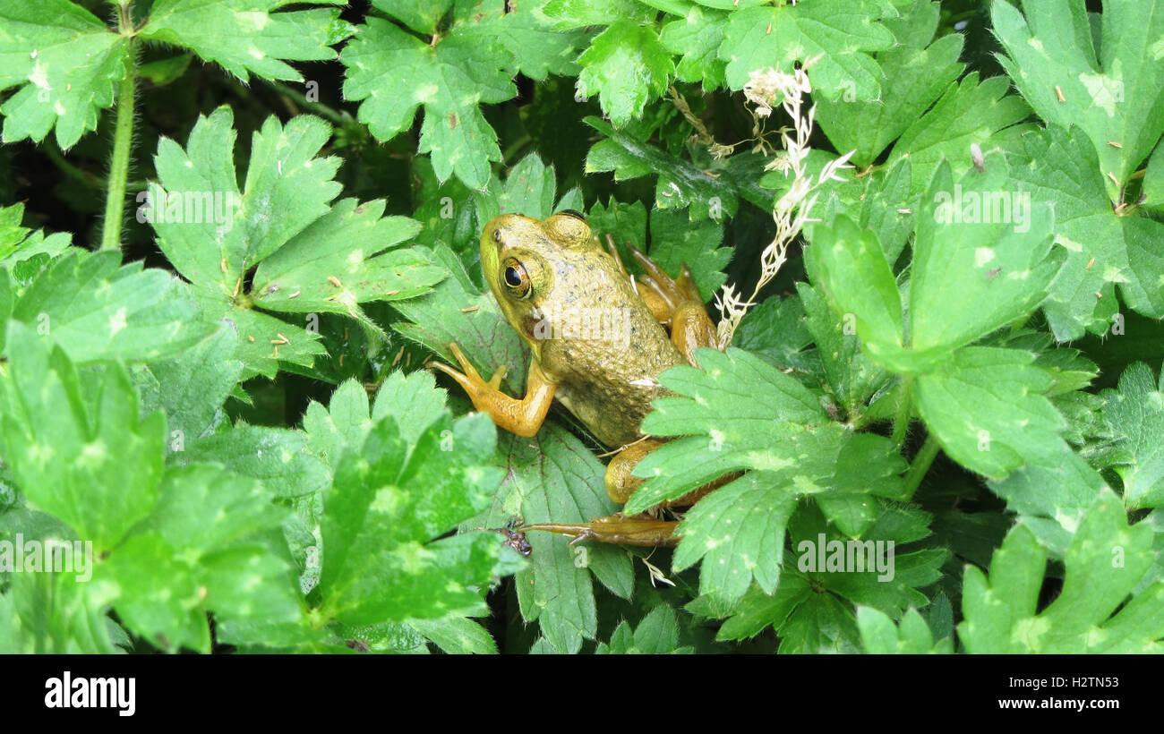 Petite rainette sur feuillage vert luxuriant d'un terrain de golf de l'Oregon Photo Stock