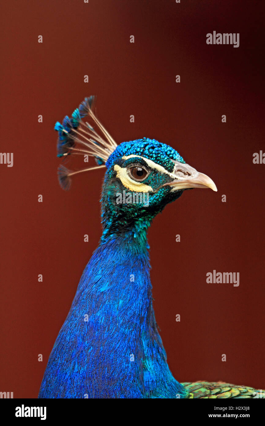 Pavo cristatus paon indien,, Cape May County Zoo, New Jersey, NJ, USA Photo Stock