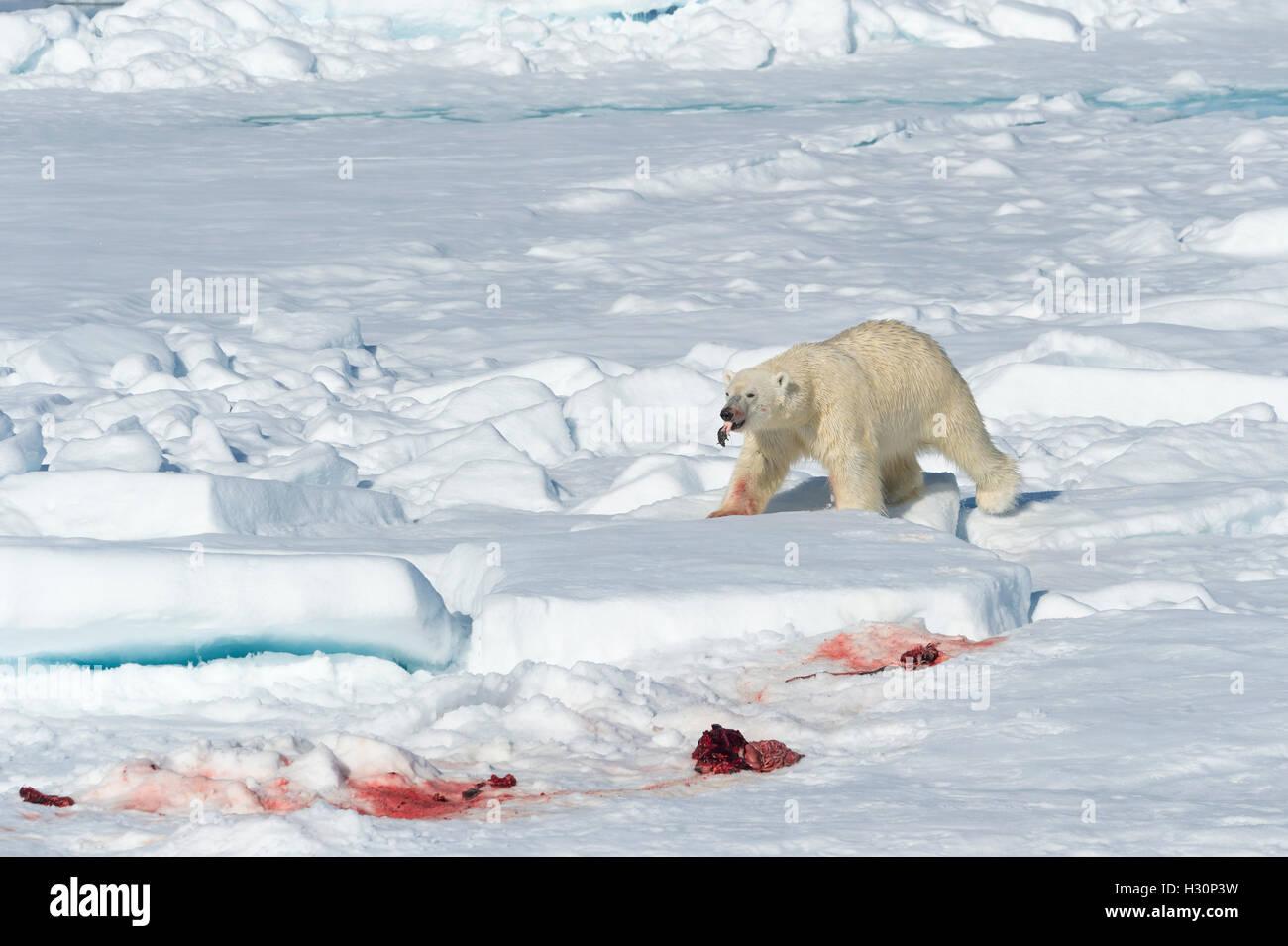 Mâle Ours polaire (Ursus maritimus) sur la banquise, l'alimentation sur les restes d'un joint de proie, Photo Stock
