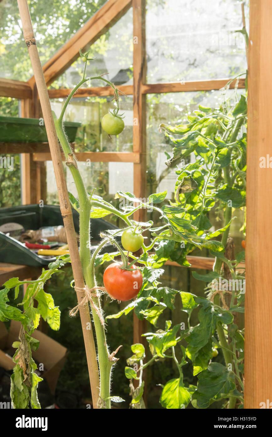 Stirlingshire, Scotland, UK - 3 octobre 2016: UK: météo encore les tomates pour faire mûrir Photo Stock