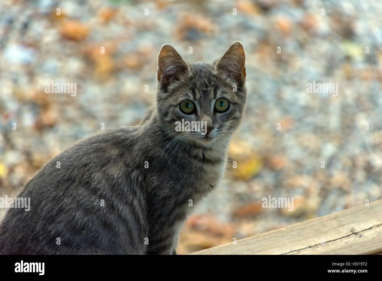 Timide feral cat regardant la caméra, peur, couleurs d'automne couleurs derrière Photo Stock