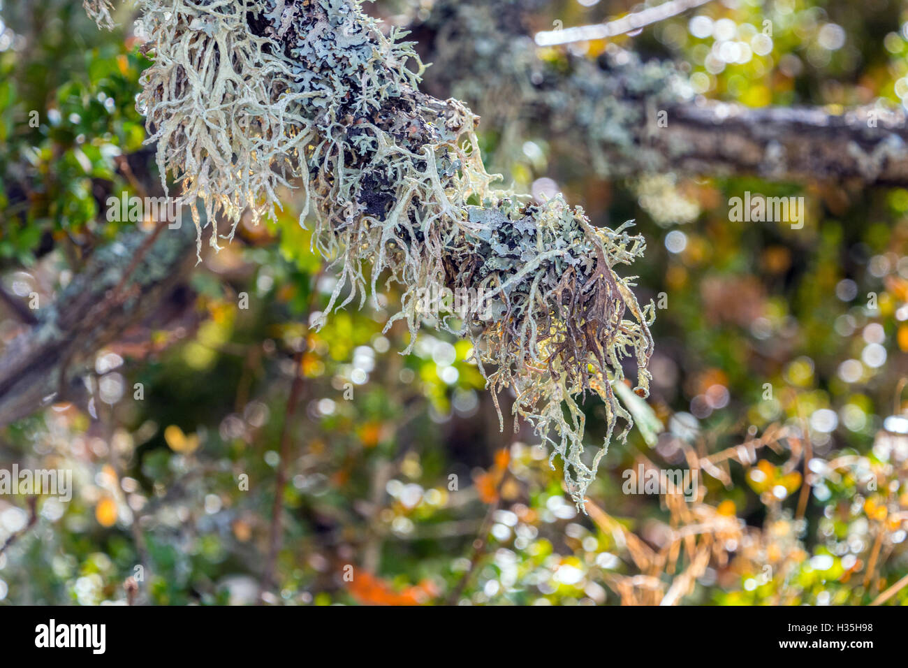 Lichen gris gris luxuriante growing on tree branch, France Photo Stock