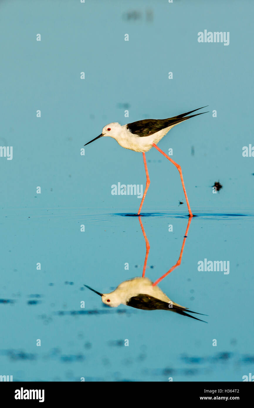 BLACK WINGED STILT, Himantopus himantopus, Camargue, France Photo Stock