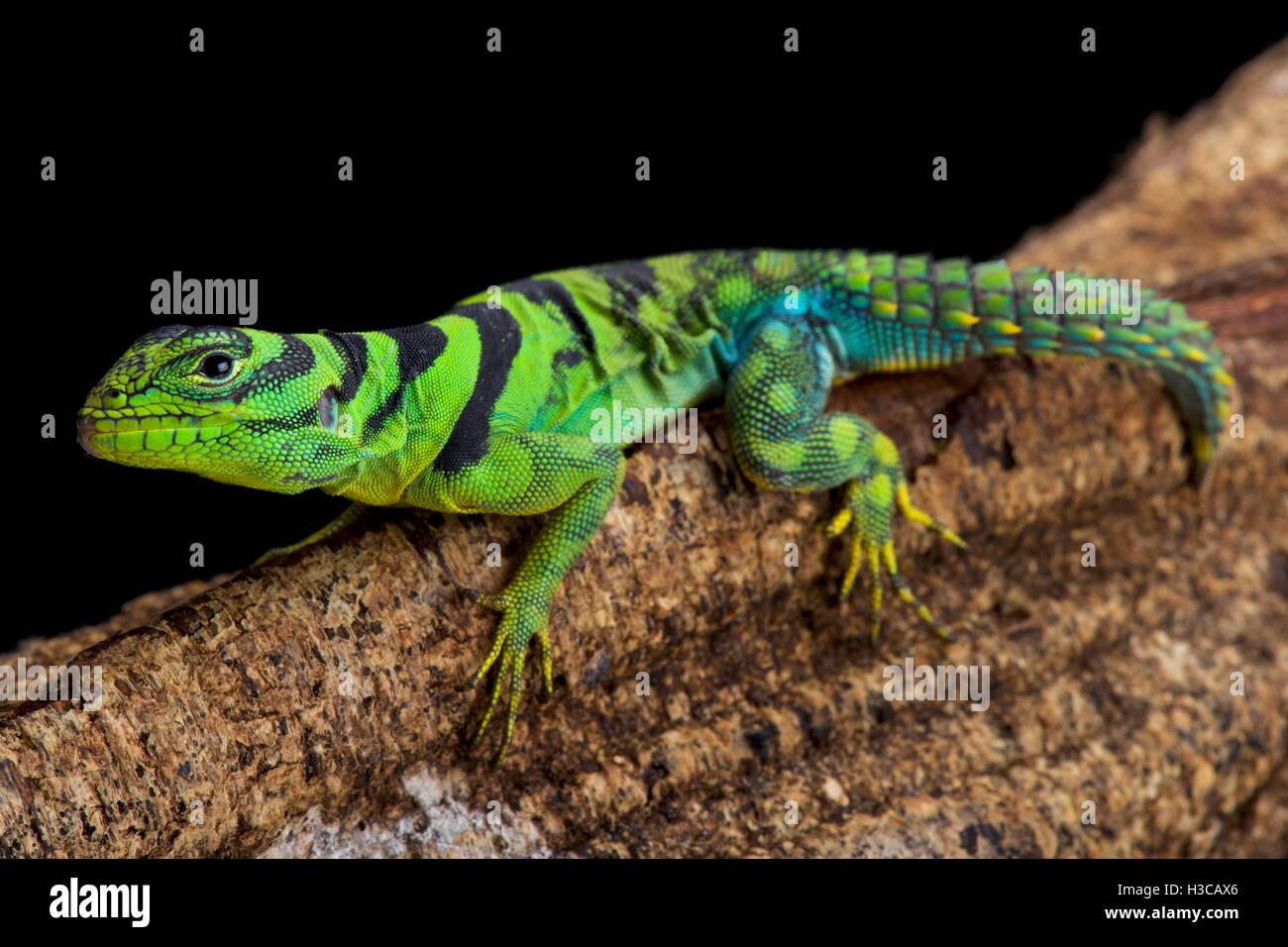 Iguane vert thornytail, Uracentron azureum, Suriname Photo Stock