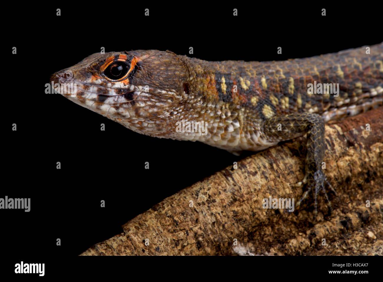 L'eau à deux faces Neusticurus bicarinatus,teju,Suriname Banque D'Images