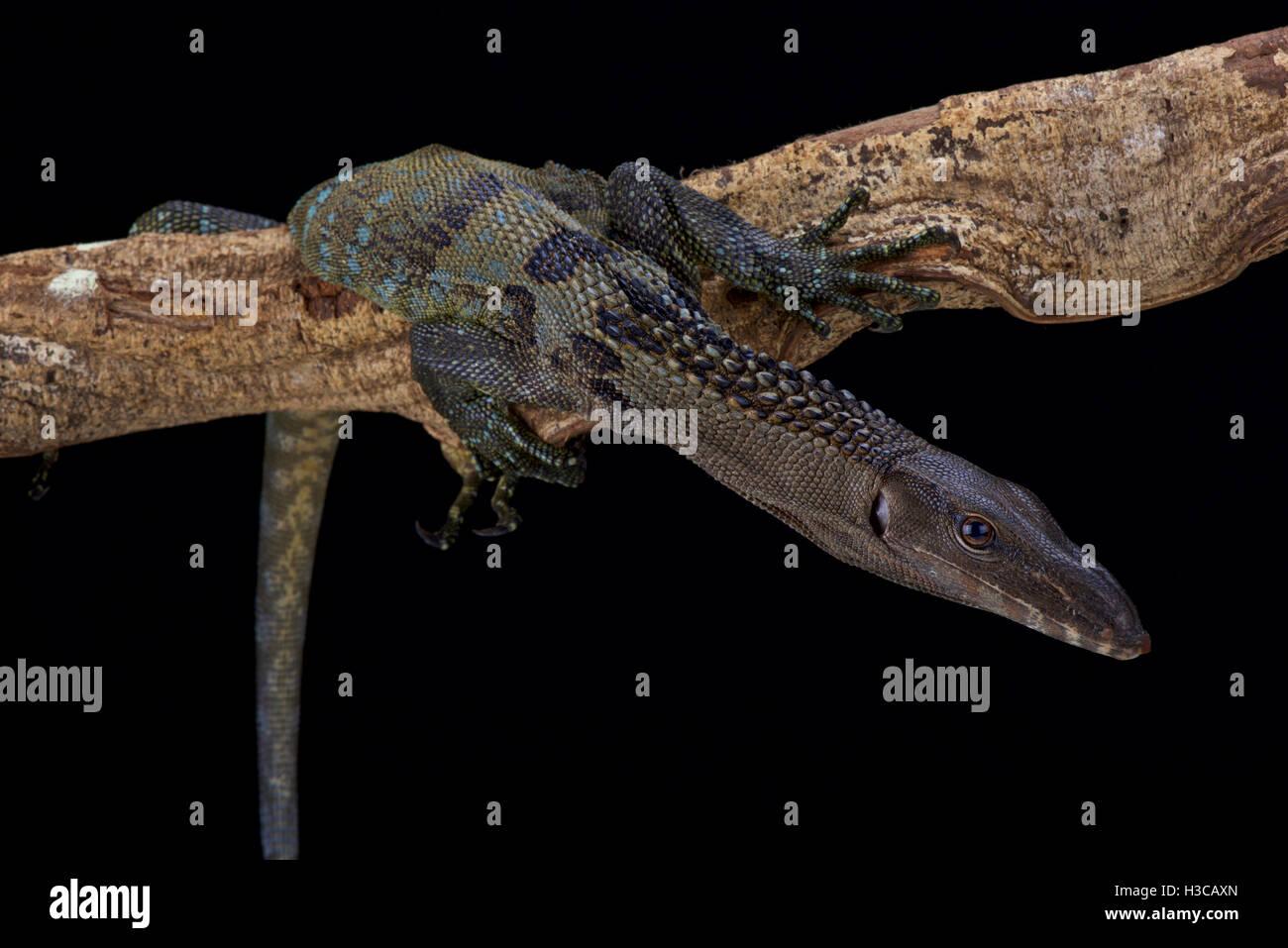 Roughneck moniteur, Varanus rudicollis, Indonésie Photo Stock