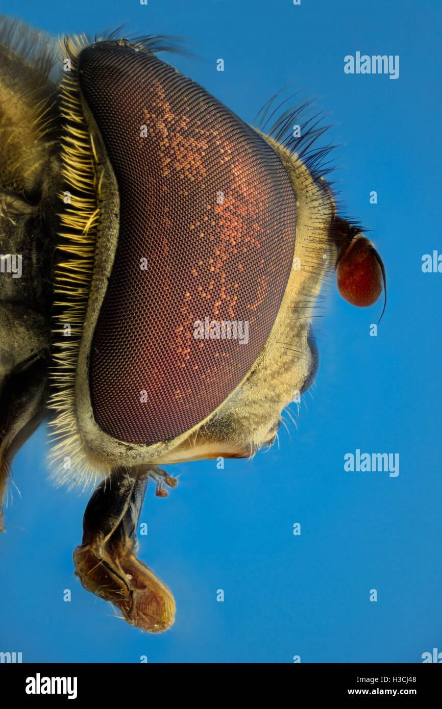 Grossissement extrême, faux bee, side view Banque D'Images
