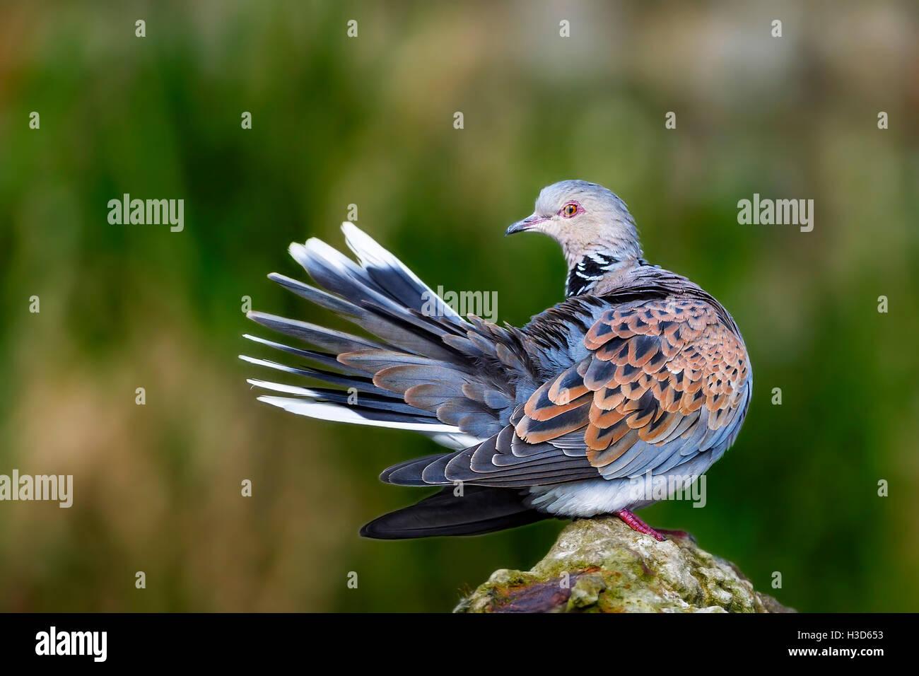 Une captive Turtle dove (Streptopelia turtur) lissage Pensthorpe, Norfolk, Angleterre Photo Stock