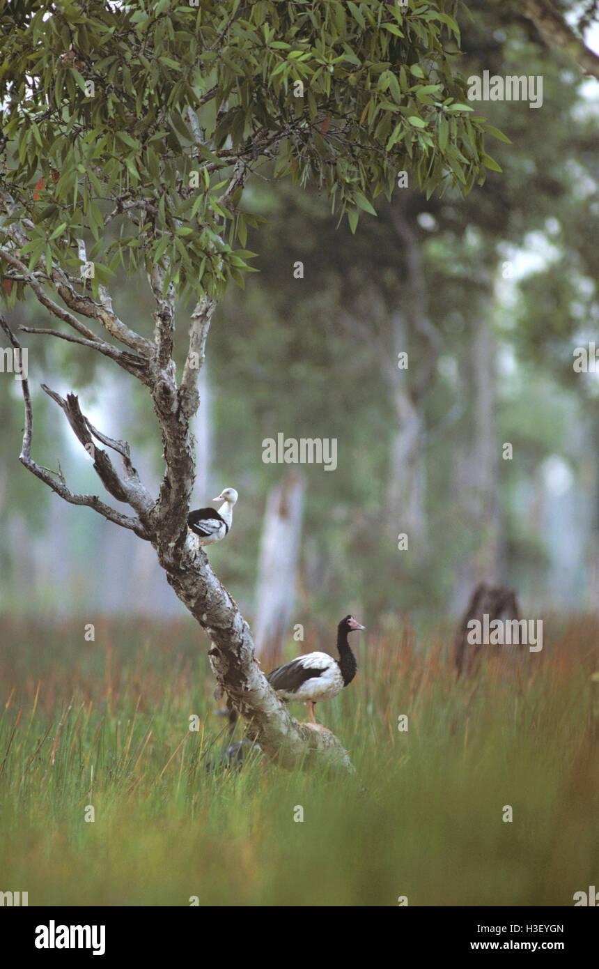 (Anseranas semipalmata goose magpie) Photo Stock