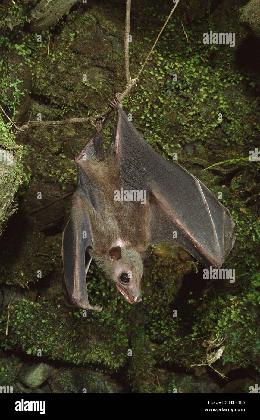 Rousette de Geoffroy (Rousettus amplexicaudatus) bat Banque D'Images