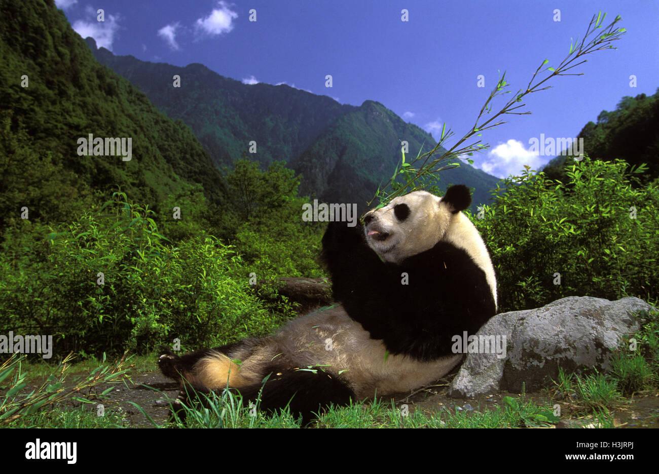 Panda géant (Ailuropoda melanoleuca) Photo Stock