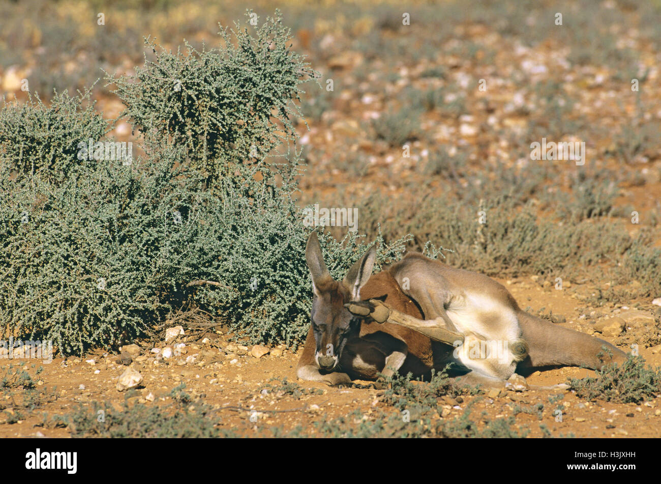 Kangourou rouge (Macropus rufus) Photo Stock