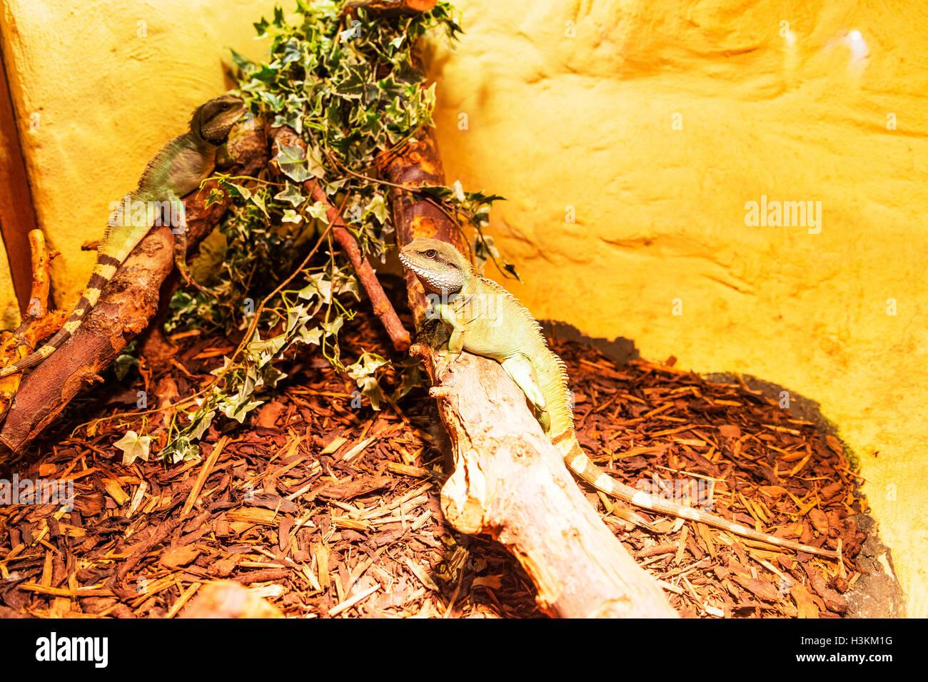 Lézard dragon d'eau Physignathus cocincinus lézards aquatiques dragons de l'eau semi en captivité Banque D'Images