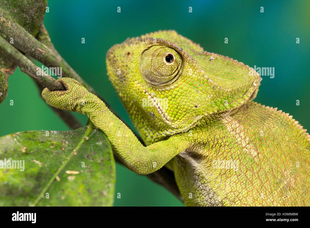 Close up d'un caméléon de taille moyenne, vert Photo Stock