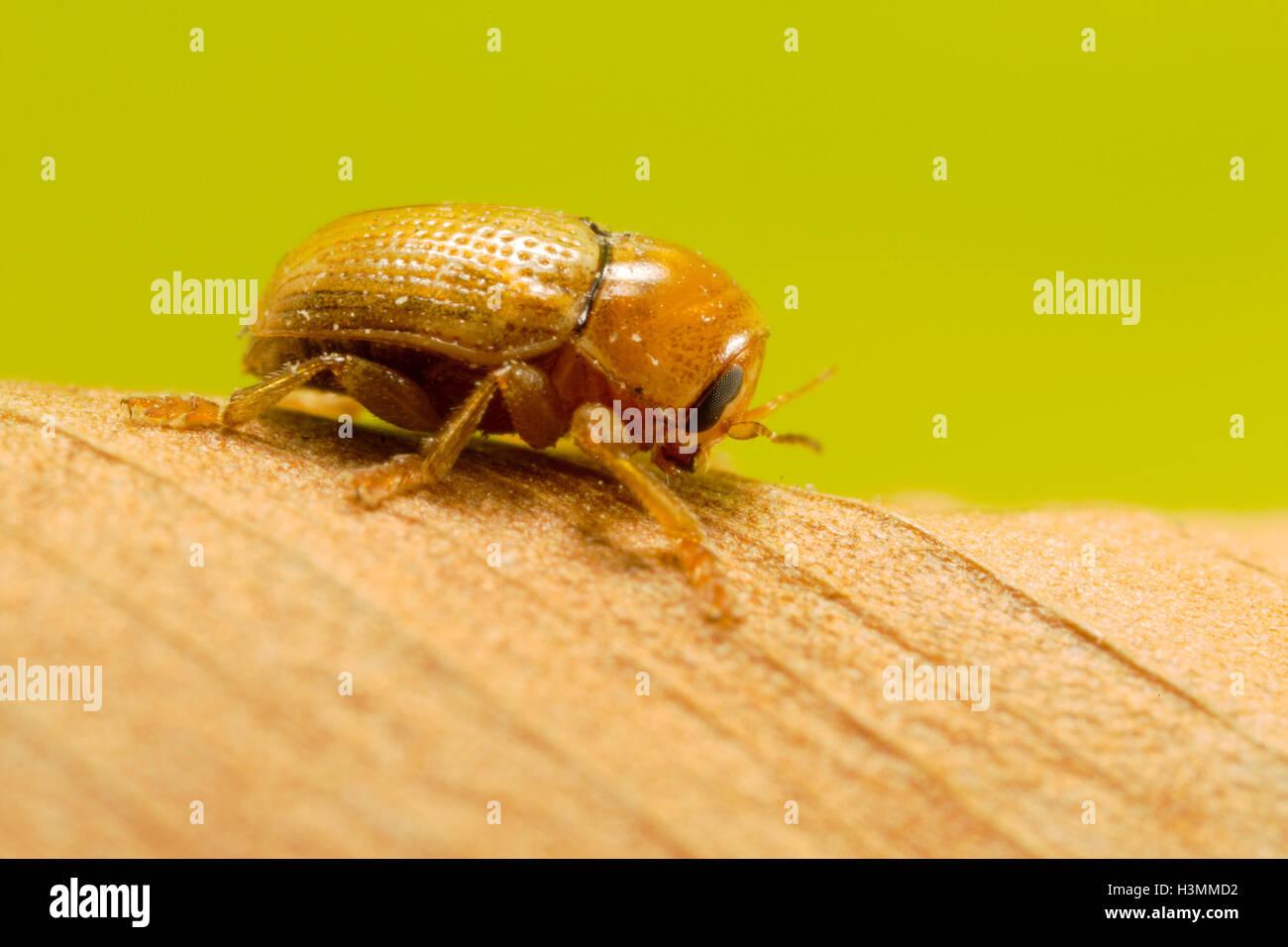 Petit insecte sur la feuille sèche Photo Stock