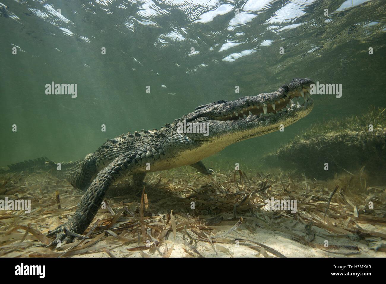 Crocodile (crodoylus acutus) dans les eaux peu profondes de l'Atoll de Chinchorro, Mexique Photo Stock