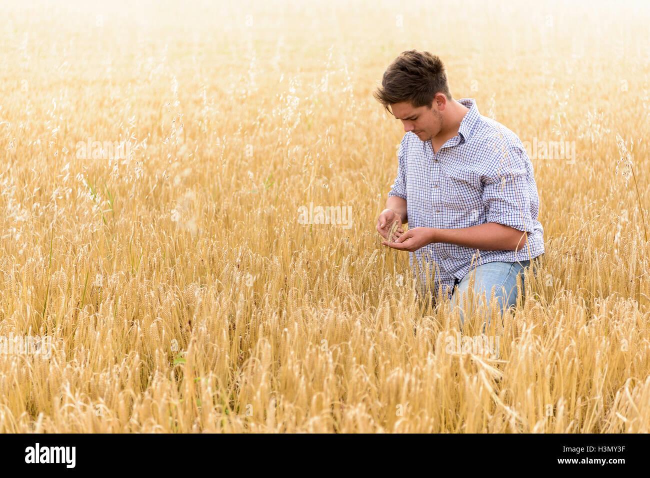 L'inspection de récolte de l'agriculteur dans le champ d'orge biologique Photo Stock