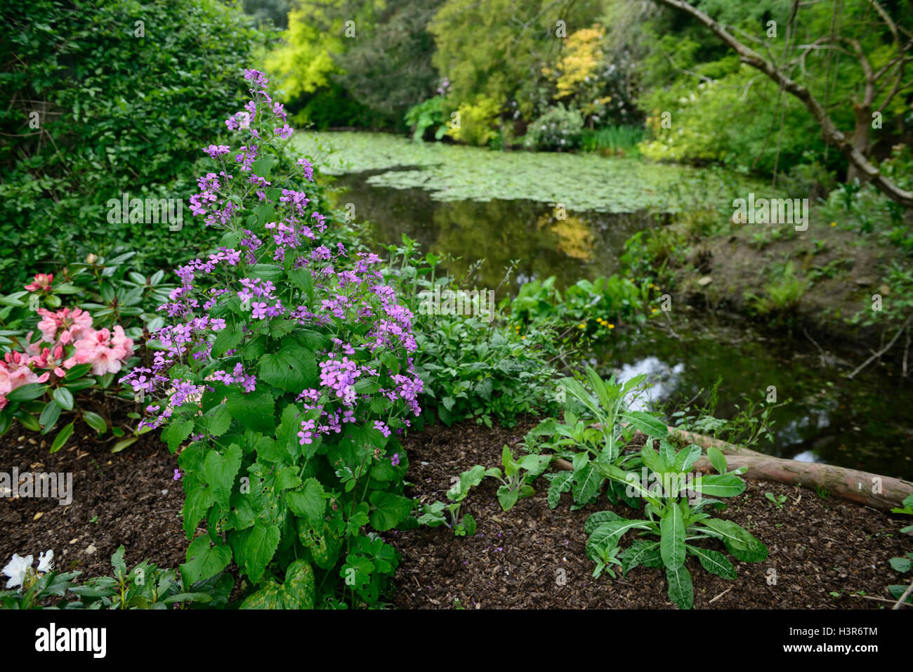 Hesperis matronalis dame's rocket violet damassé dame a fleur de ressort gilliflower Altamont Gardens Carlow Photo Stock