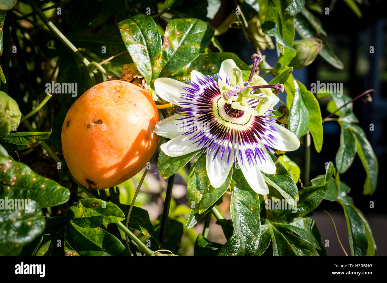 Close Up Of A Passion Fruit Flower Photos Close Up Of A Passion