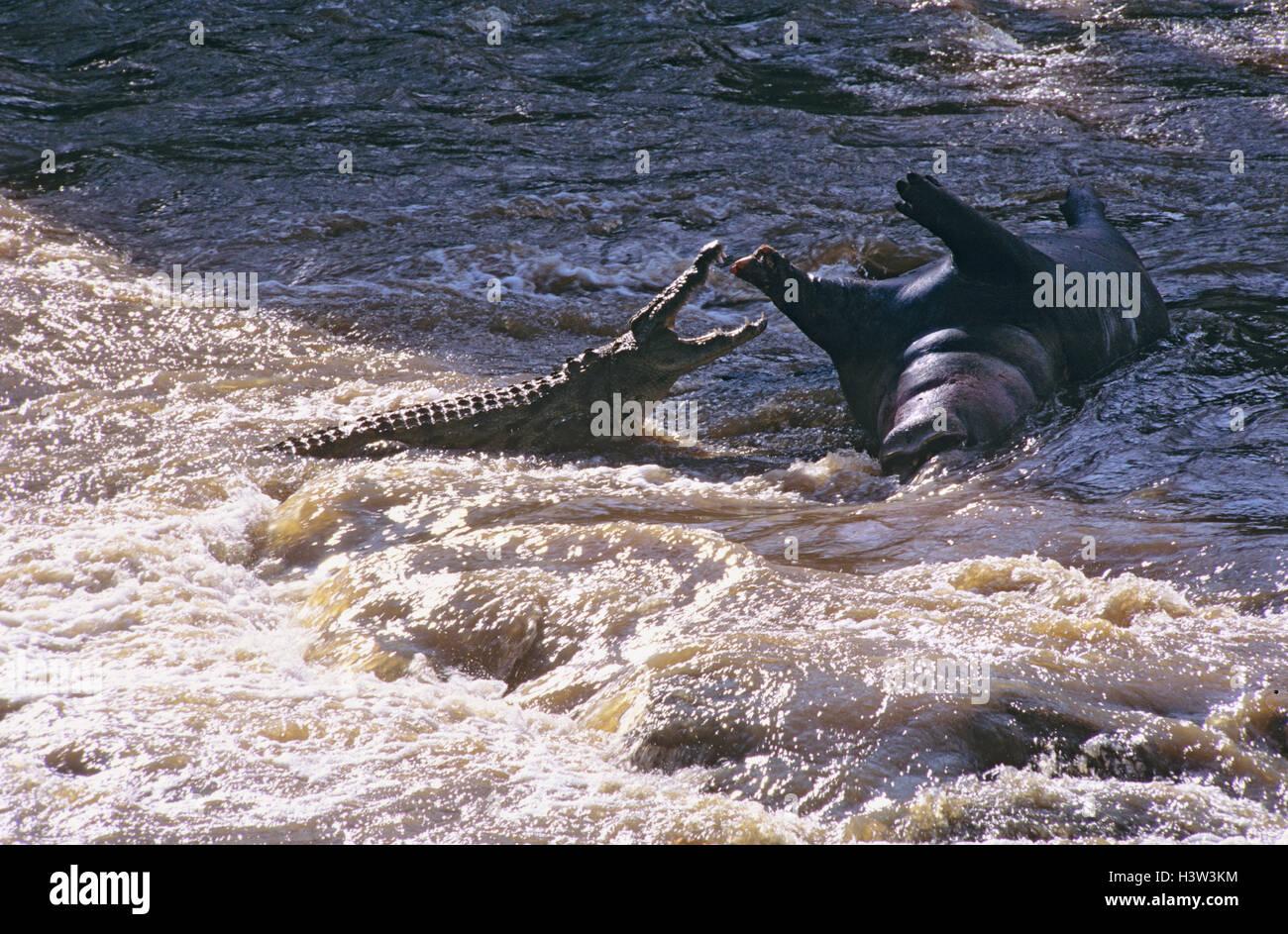 Le crocodile du Nil (Crocodylus niloticus) Banque D'Images