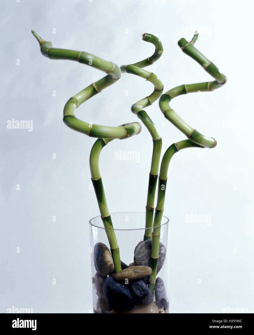 Feng Shui Spirale vase chance bambou dracaena fragrans tedneri spirale verre
