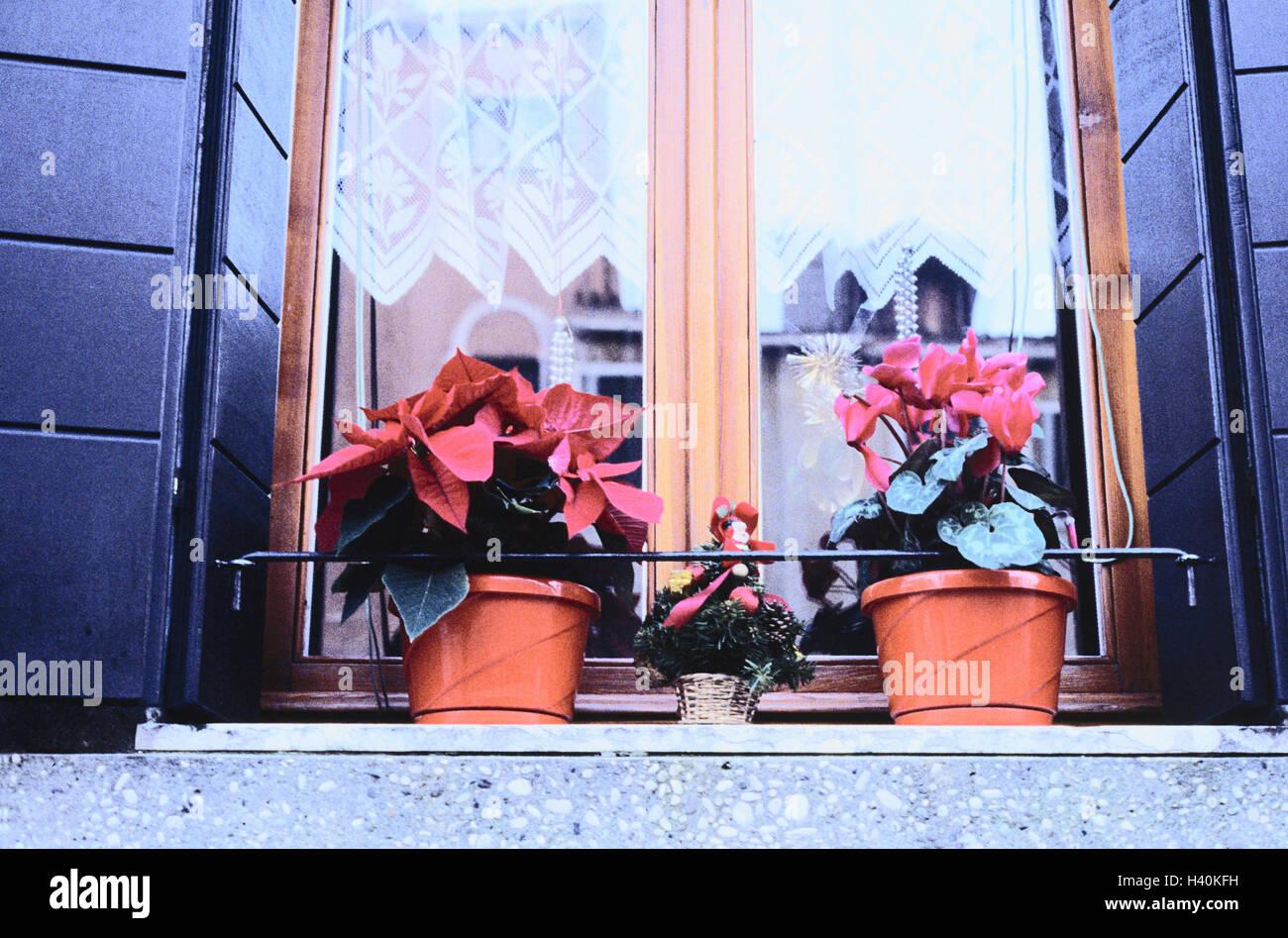 Etoile De Noel Plante Exterieur l'italie, yule marée, bâtiment, sill, plantes en pot, arbre