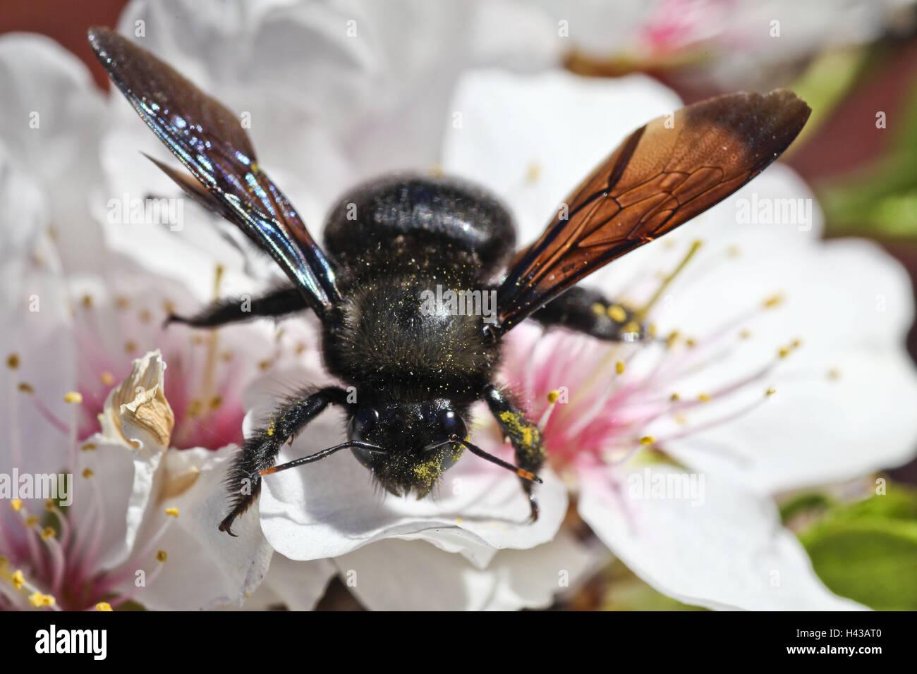 Fleur d'amygdales, abeille, Xylocopa violacea, Close up, Majorque, Les fleurs, les navires de la poussière, Photo Stock