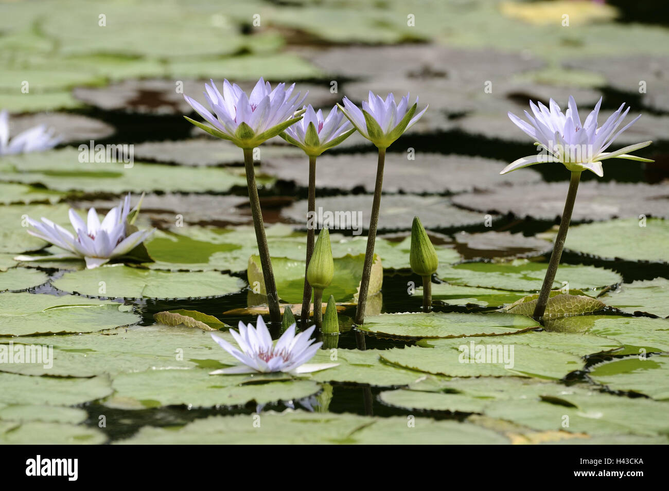Etang Nenuphars Fleurs Blanc Plante Plantes De L Eau De L Eau