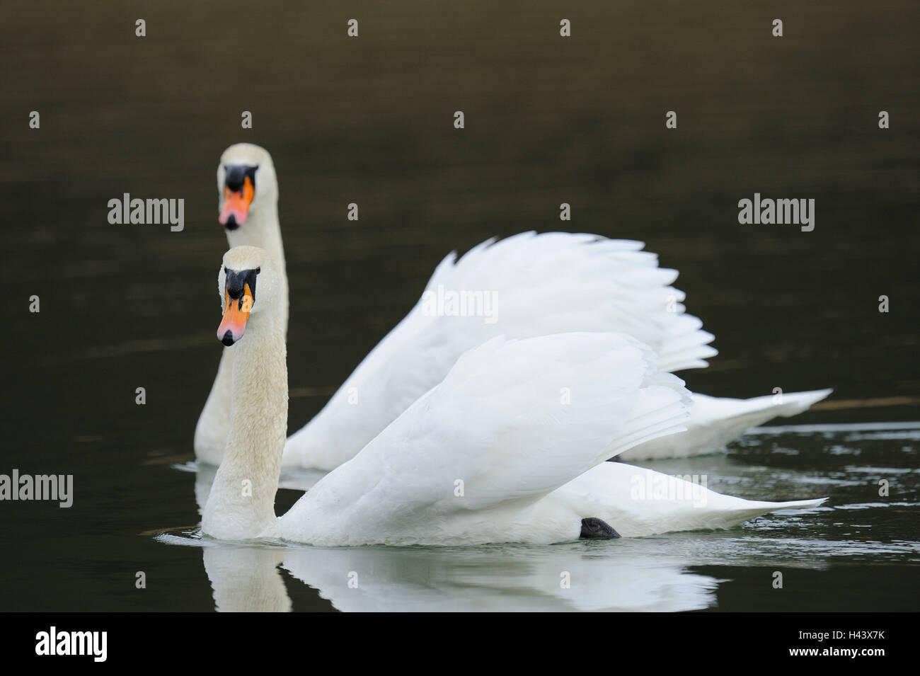 Cygnes bosse, Cygnus olor, deux, nager, Photo Stock