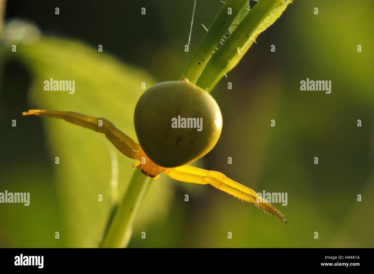 Araignée crabe Verge d', jaune, femme, Banque D'Images