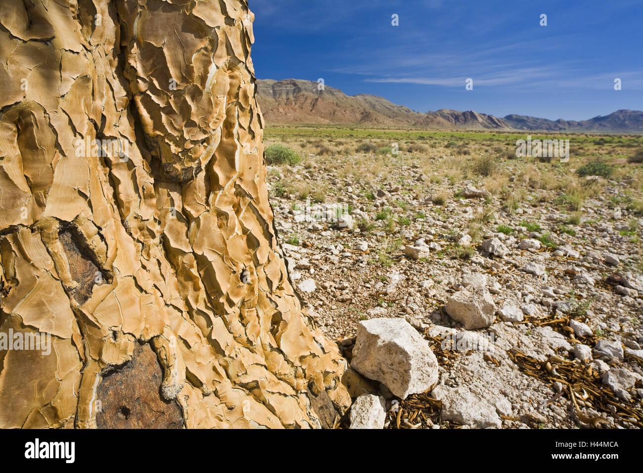 L'Afrique, la Namibie, désert, Quiver Tree, l'aloe dichotoma, détail, souche, Photo Stock