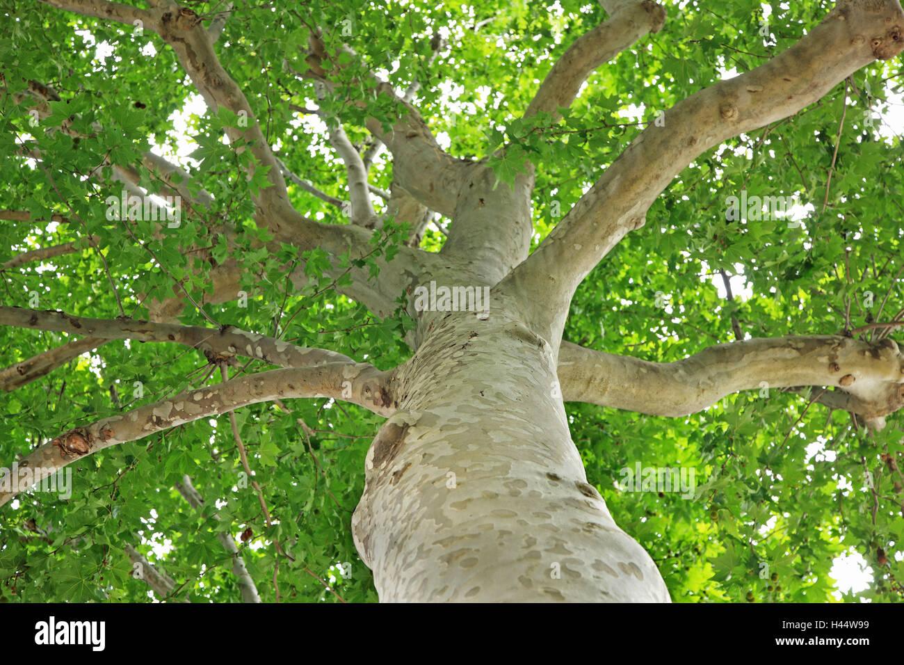 platane, platanus spec., l'été, de ci-dessous, plante, arbre, arbre