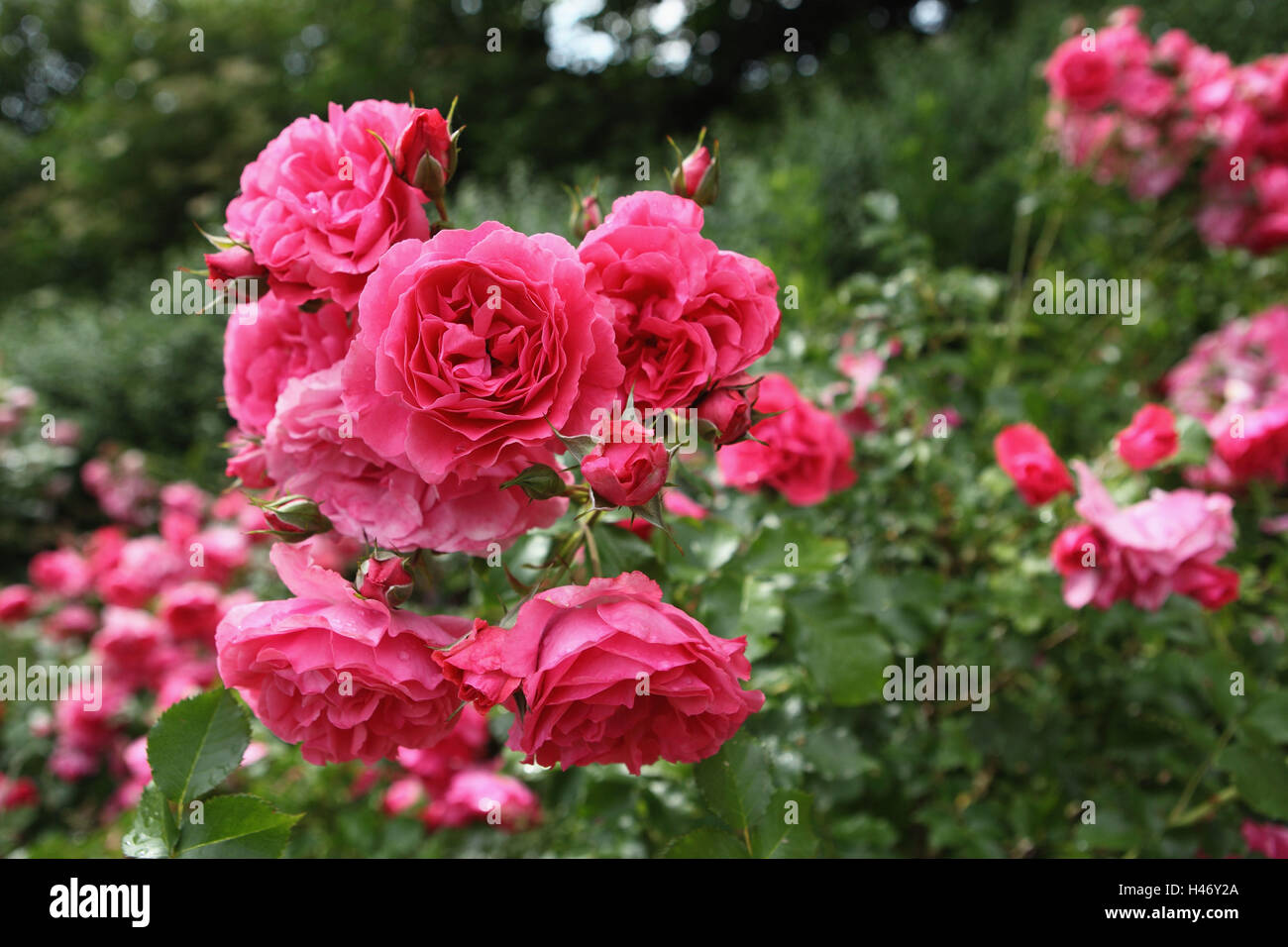 1, jardin luxuriant avec rosiers, Photo Stock