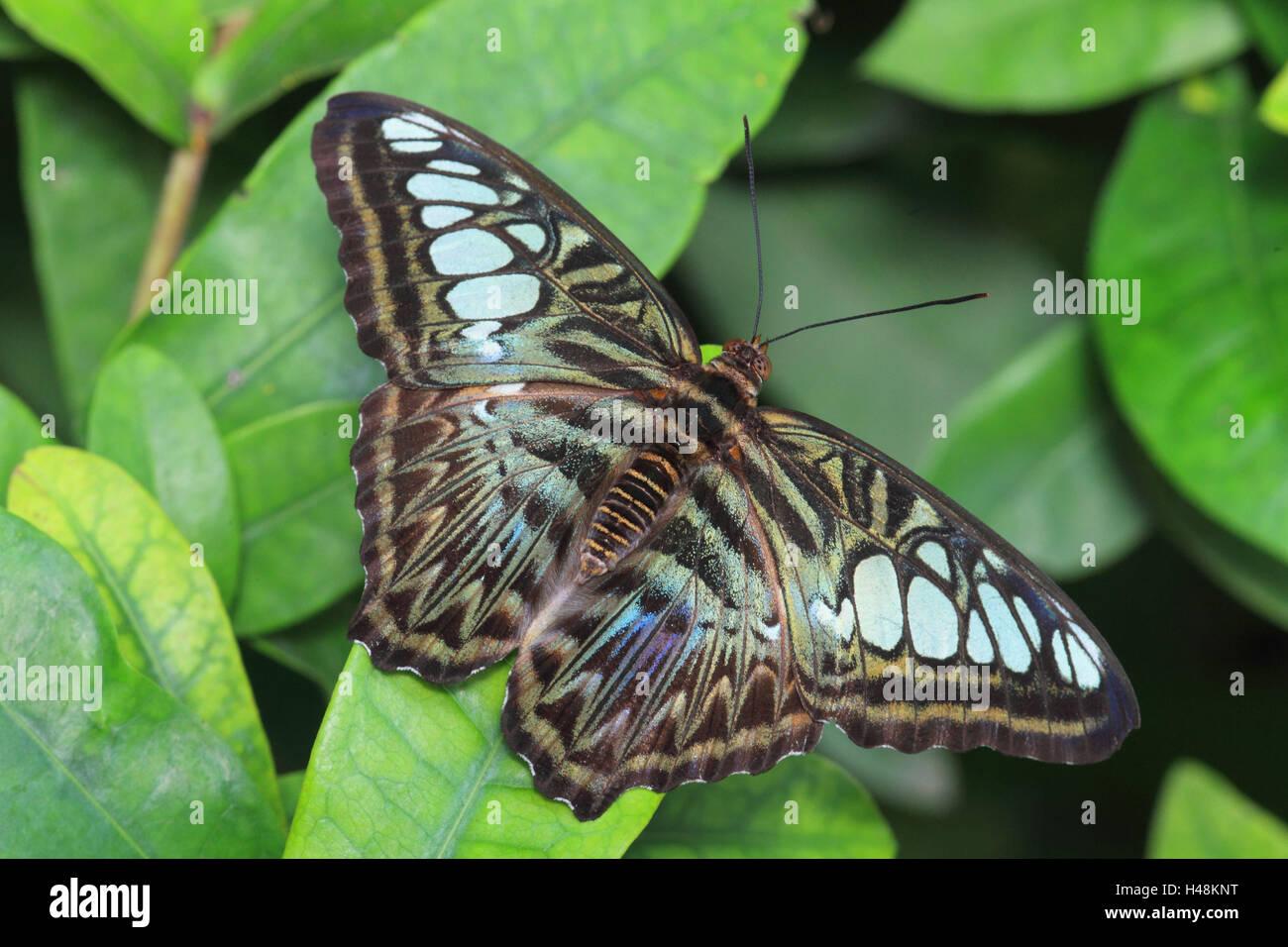 Les papillons du tigre, medium close-up, format Paysage, l'Asie, insecte, animal sauvage, papillon, animal, Photo Stock